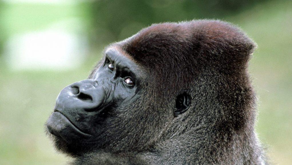 The Gorilla Suit & The Gorilla Suit | J W Kash