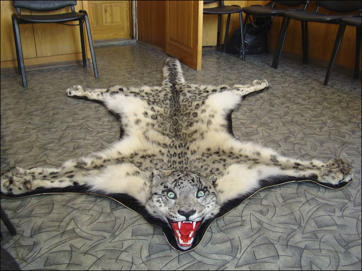 Author's note: this snow leopard did not survive.